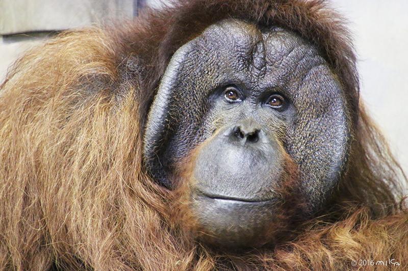 ボルネオオランウータンのオス「ジャック」⑤(旭山動物園)