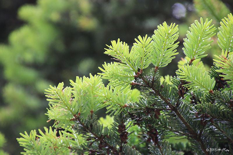 モミの木の若葉