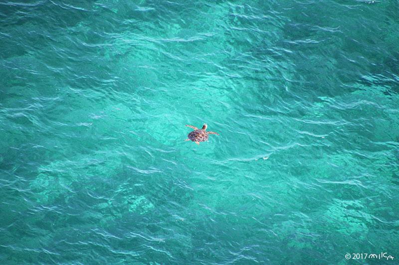 息継ぎに上がってくるウミガメ
