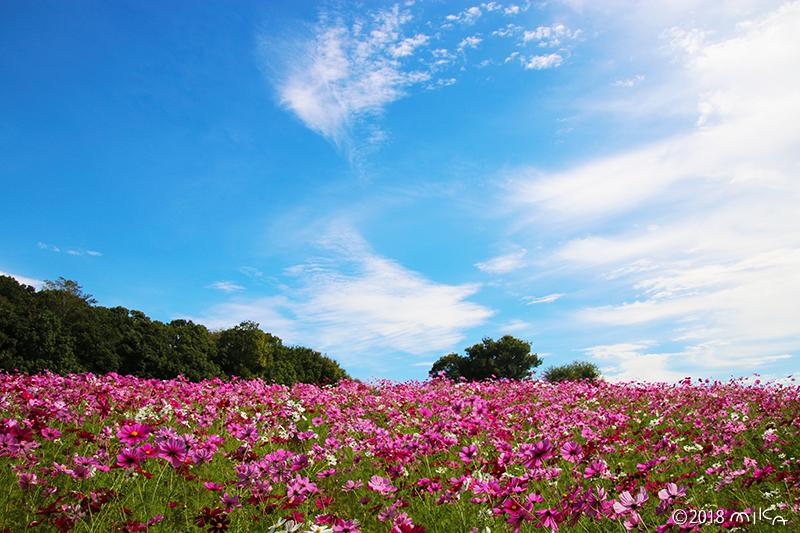 万博公園花の丘のコスモス