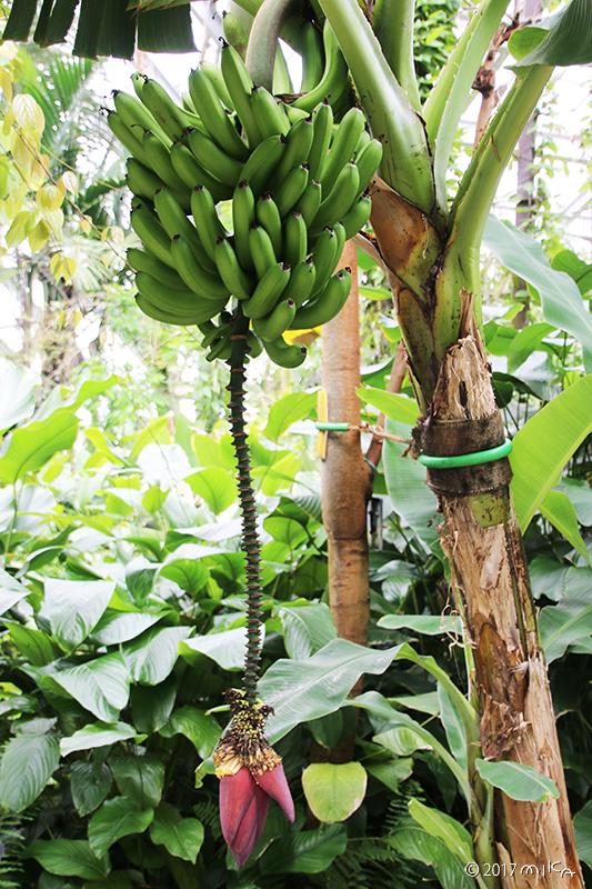 バナナの実が上に上がったところ(京都府立植物園)