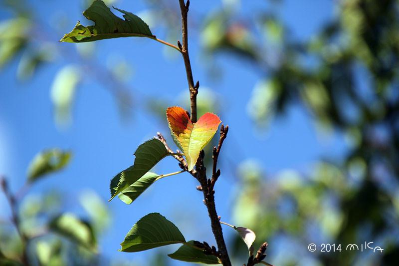 色づく桜の葉