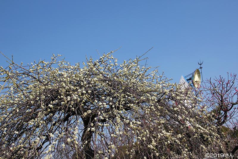 梅と太陽の塔(大阪府Iさん)