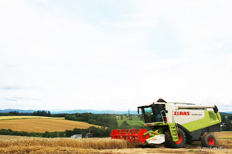 麦の刈り入れ