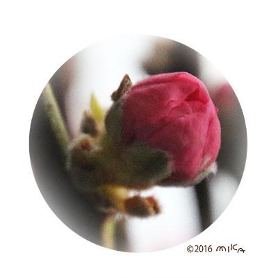 ももの花のつぼみ(3月)