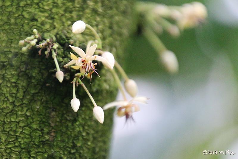 カカオの花③(京都府立植物園)