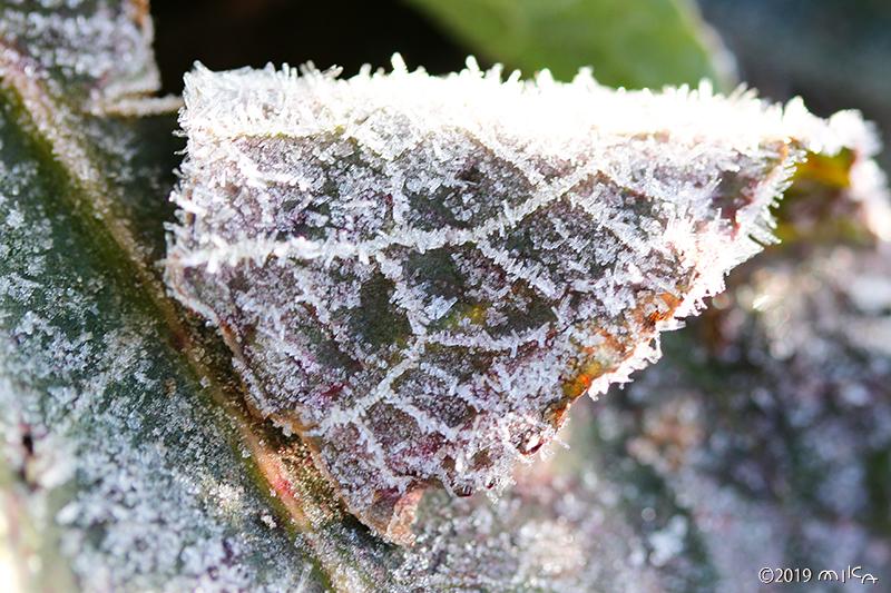 網目状の葉脈についた霜