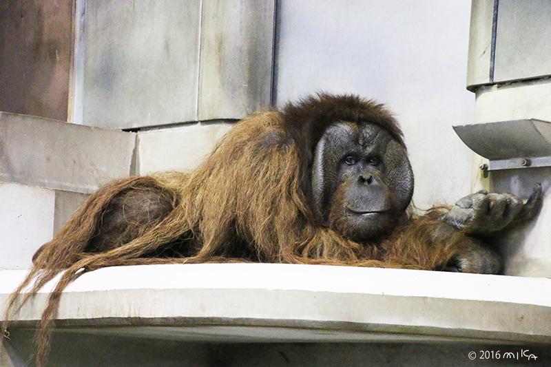 ボルネオオランウータンのオス「ジャック」②(旭山動物園)