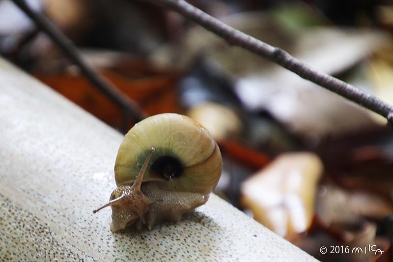 梅雨時のかたつむり(落ち葉の多い竹の上)