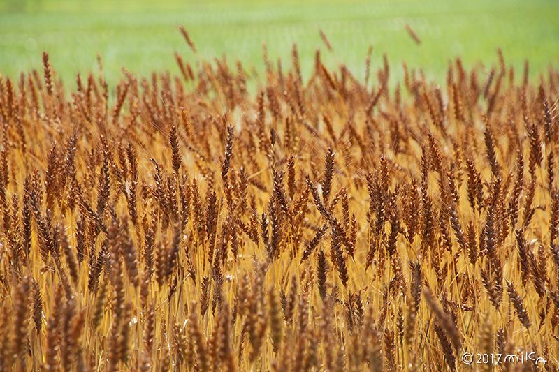 収穫前の麦と田植え