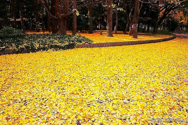 イチョウの落葉