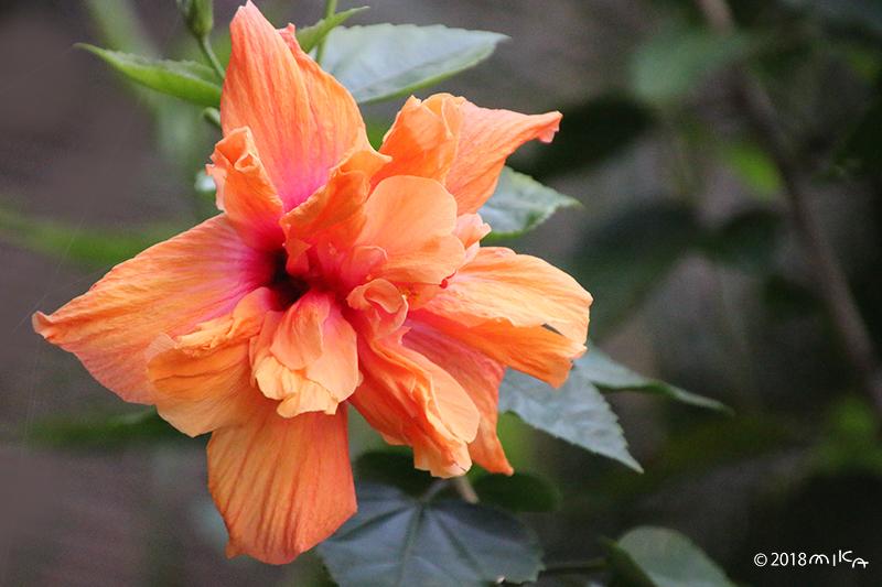 八重咲きのハイビスカス