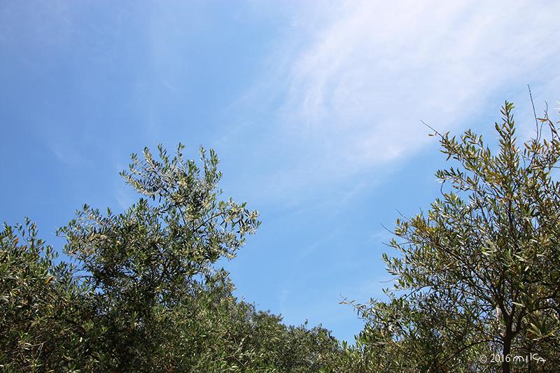 オリーブの林(5月 開花時期)