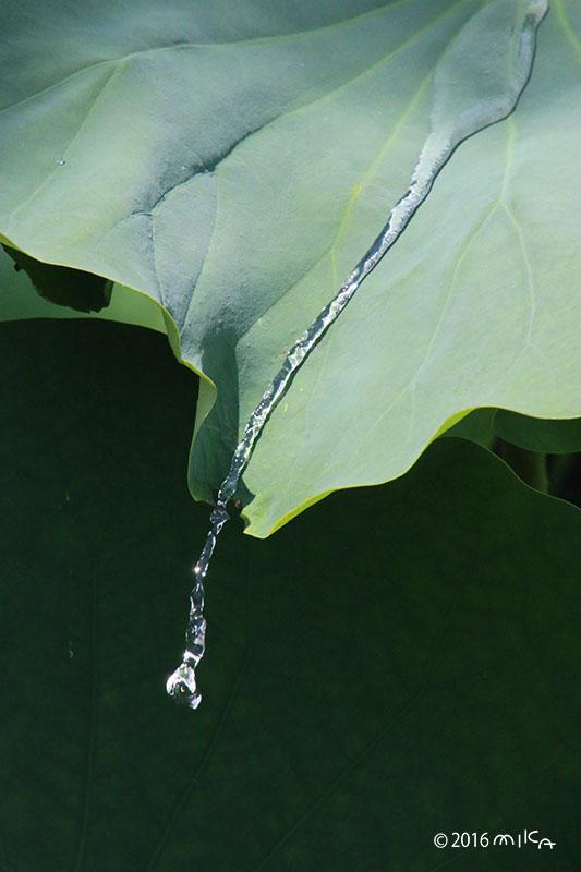 池に落ちる雨のしずく(ハスの葉)①
