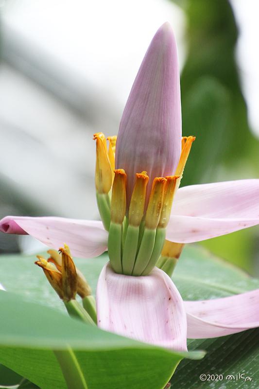 バナナの雌花と若い実
