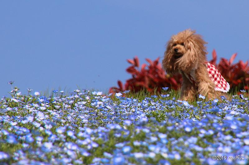 ネモフィラで遊ぶ小犬