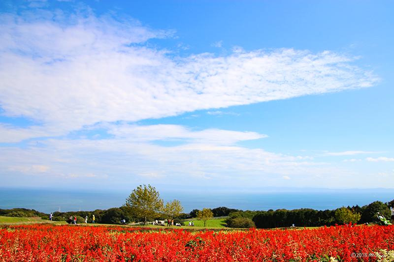 サルビアの丘(あわじ花さじき10月上旬)