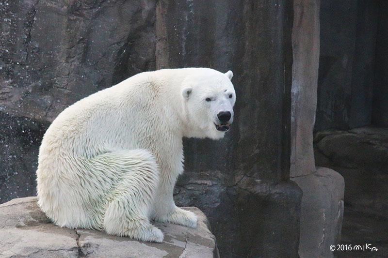 ホッキョクグマがすわっているところ(神戸市立王子動物園)