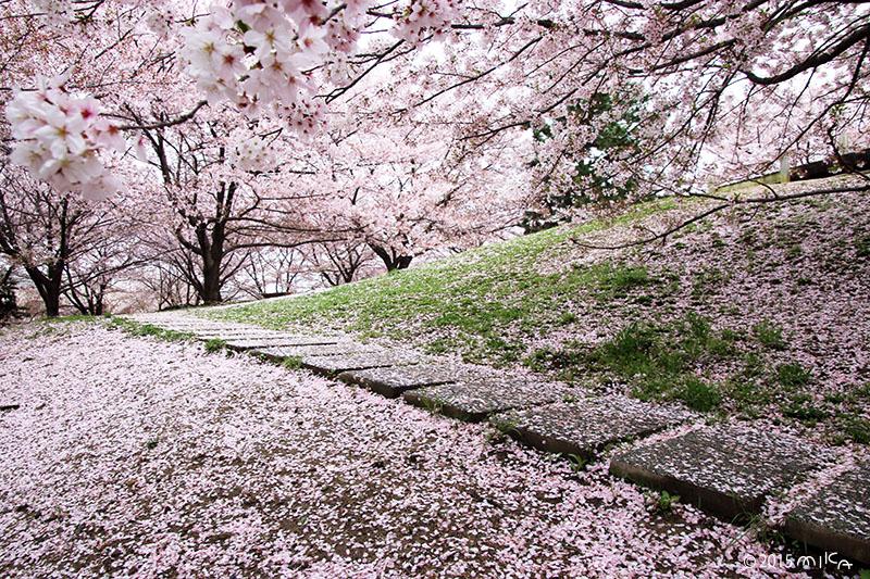 桜のじゅうたん(雨の公園)