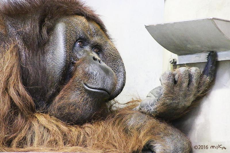 ボルネオオランウータンのオス「ジャック」④(旭山動物園)