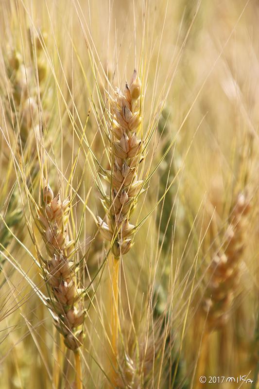 熟す麦の穂②
