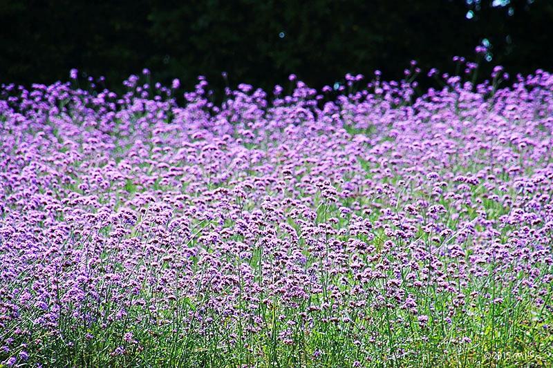 三色バーベナの花畑(あわじ花さじき)