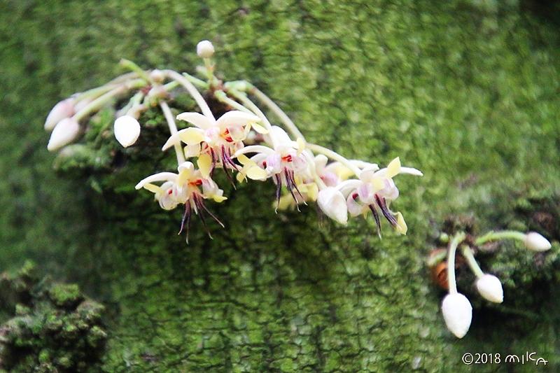 カカオの花②(京都府立植物園)