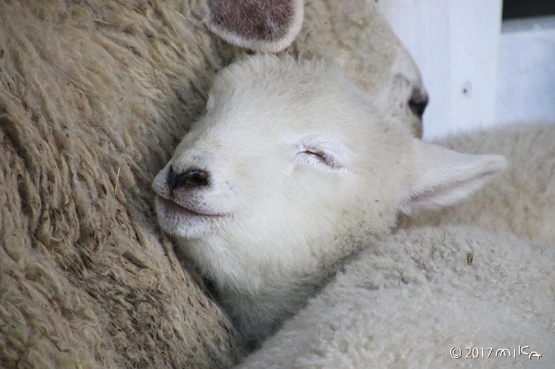 子羊の寝顔②(口を閉じている)