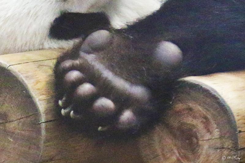 パンダの指
