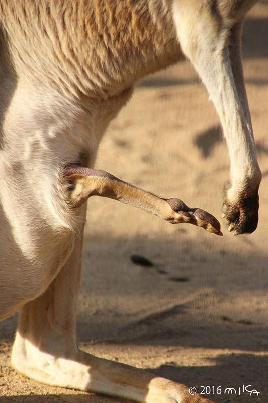 カンガルーの赤ちゃんの足