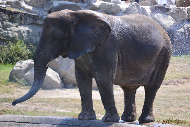 アフリカゾウ(写真は大阪府Kさん)②白浜アドベンチャーワールド2016年