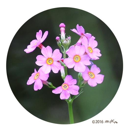 クリンソウの花(下から上に咲きあがっていく様子)