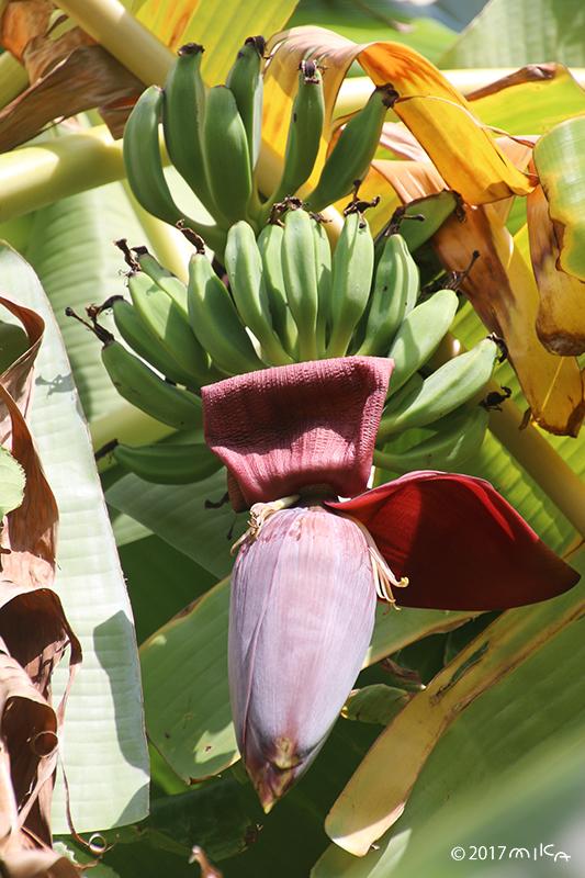 バナナの果実(雌花果)