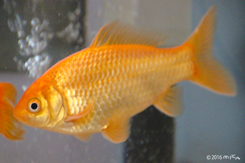 1年後の12センチの金魚 12cm