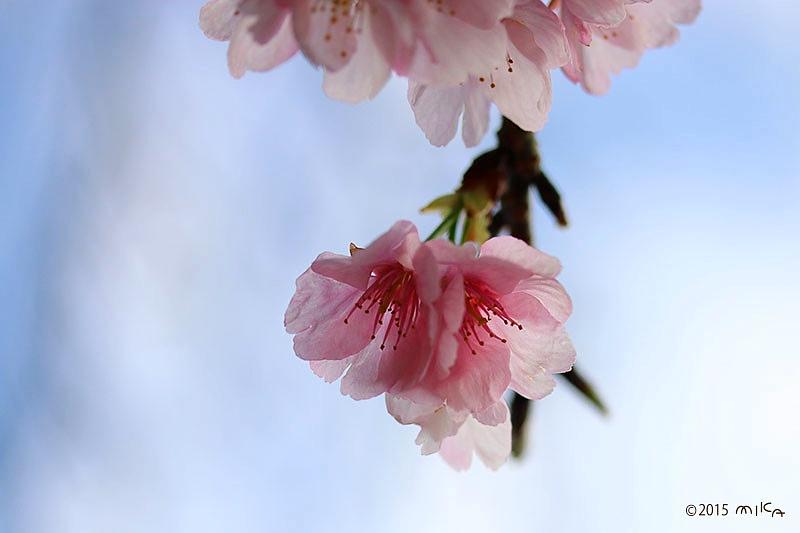 アンギョウカンザクラ(安行寒桜)③