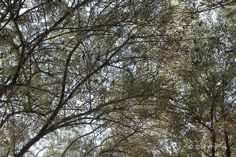 ① ここは あるオリーブの林