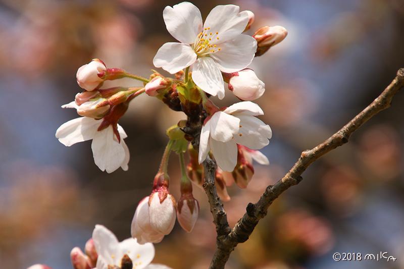 咲きはじめのソメイヨシノ
