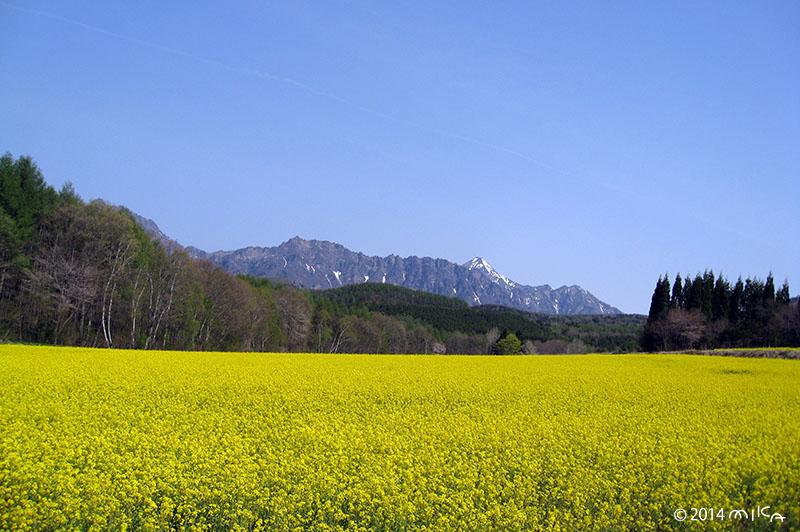 アルプスの菜の花(長野県)