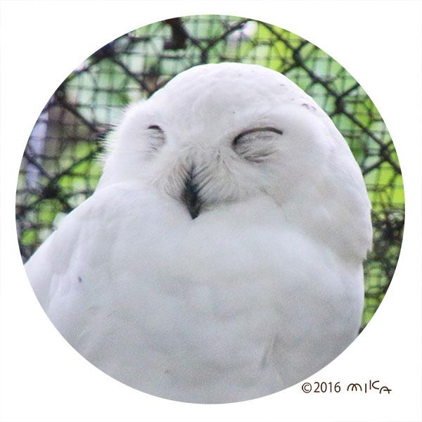 シロフクロウ(目をつぶると笑っているように見える)