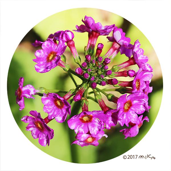上から見たクリンソウの花