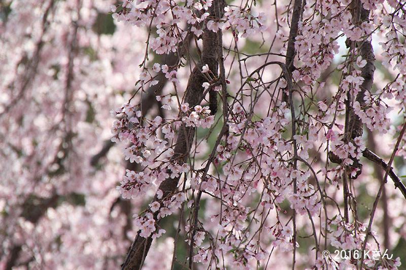 しだれ桜(高台寺/大阪府Kさん)