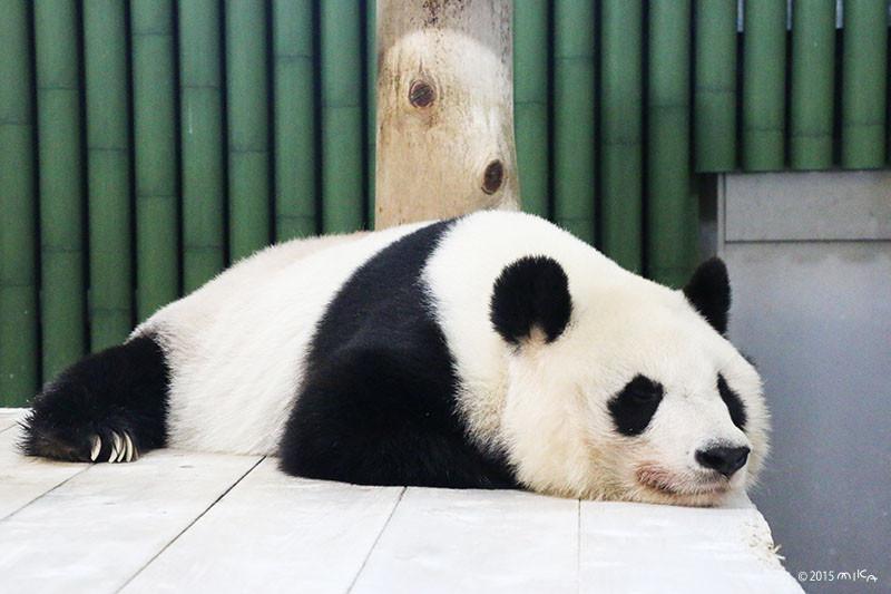 旦旦(タンタン)おねんね③(神戸市立王子動物園)2015年