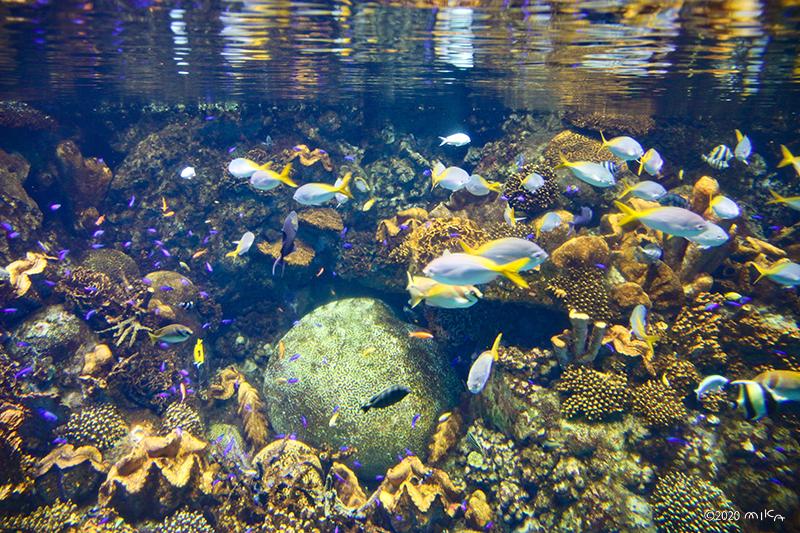 熱帯の海とサンゴ(海遊館)