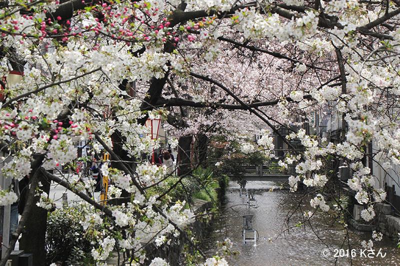 高瀬川(河原町周辺/大阪府Kさん)
