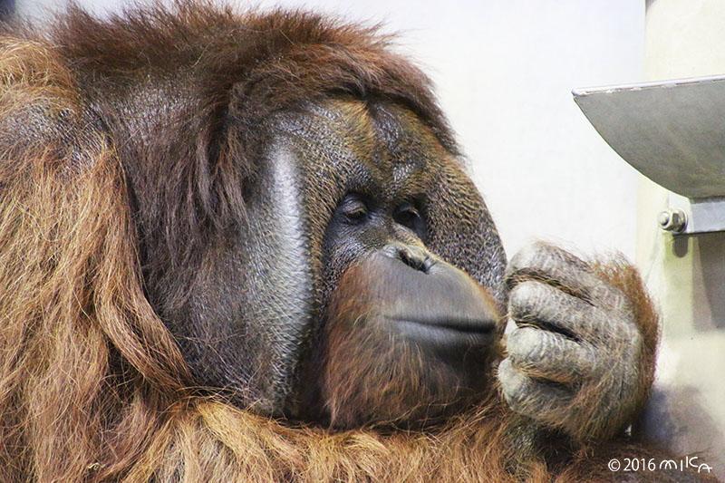 ボルネオオランウータンのオス「ジャック」③(旭山動物園)