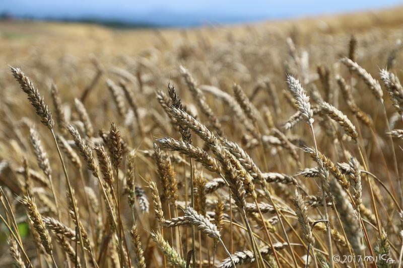 収穫期を迎えた麦