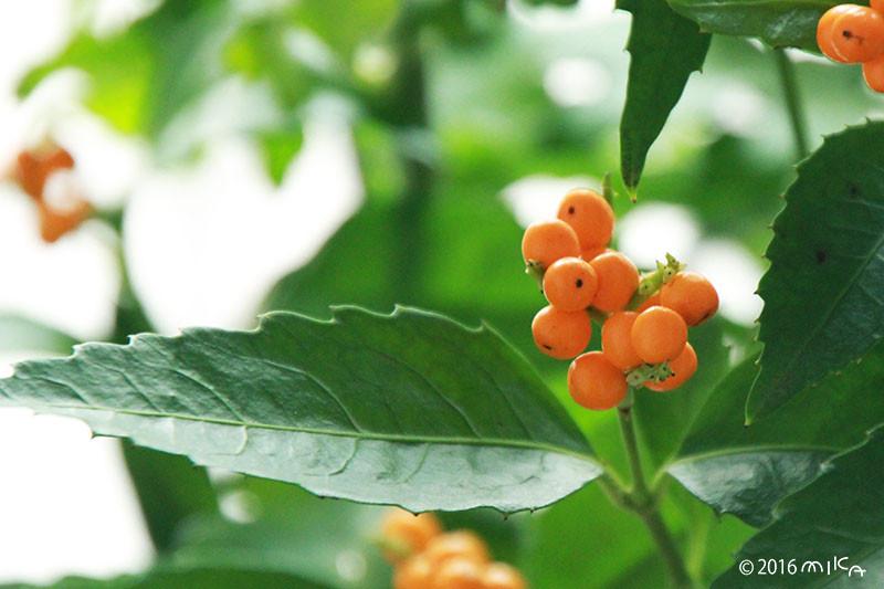 キミノセンリョウ(黄実千両)オレンジ