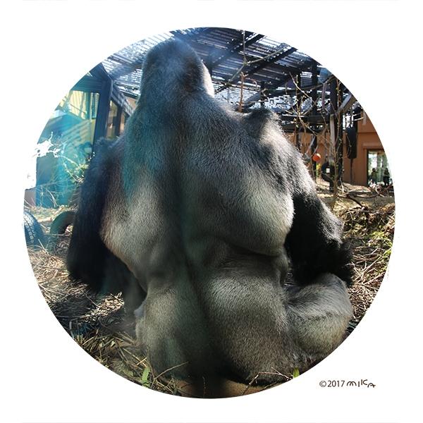モモタロウ(京都市動物園のオスのゴリラ/2017年)