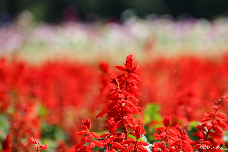 赤のサルビアと咲きかけのコスモス(あわじ花さじき10月上旬)
