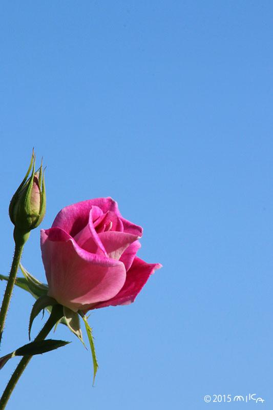 ピンクアイスバーグ